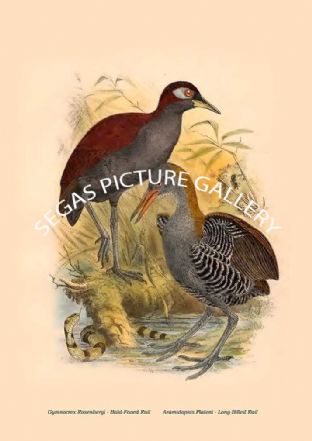 Gymnocrex Rosenbergi - Bald-Faced Rail, Aramidopsis Plateni - Long-Billed Rail